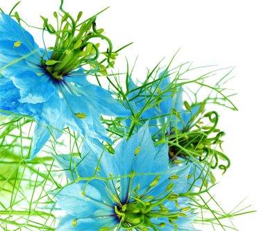 çörek otu yağı çiçeği