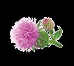 çuha çiçeği trans